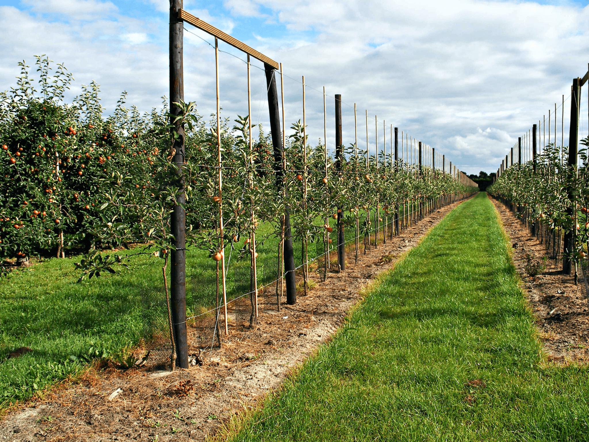 Fruitbedrijf Van den Berge_Fruithoek_jonge aanplant