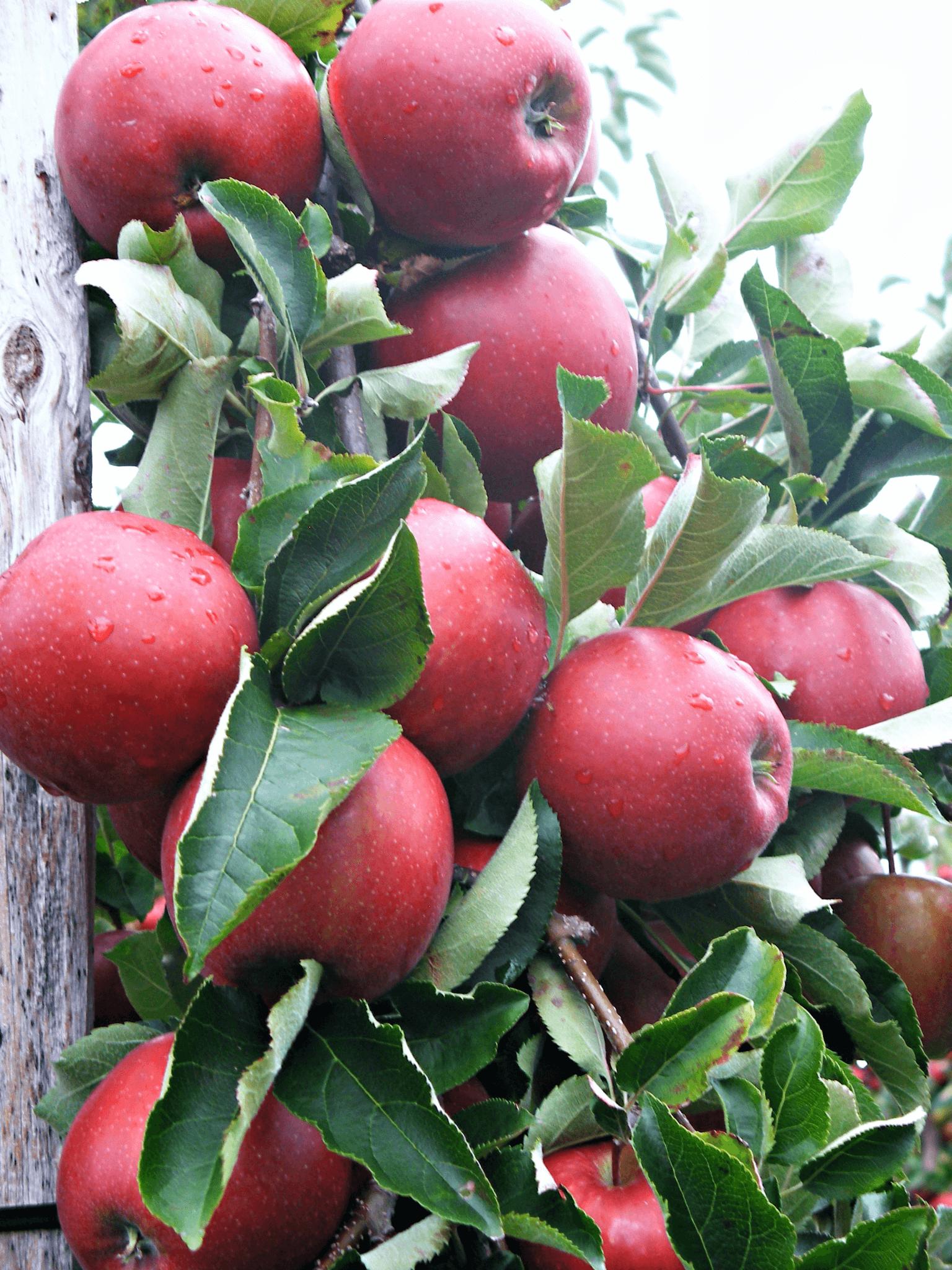 Fruitbedrijf Van den Berge_Najaar_Jonagold aan boom