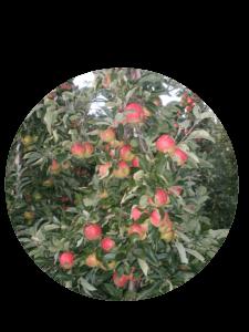 Fruitbedrijf Van den Berge: Onze appelsoorten Elstar