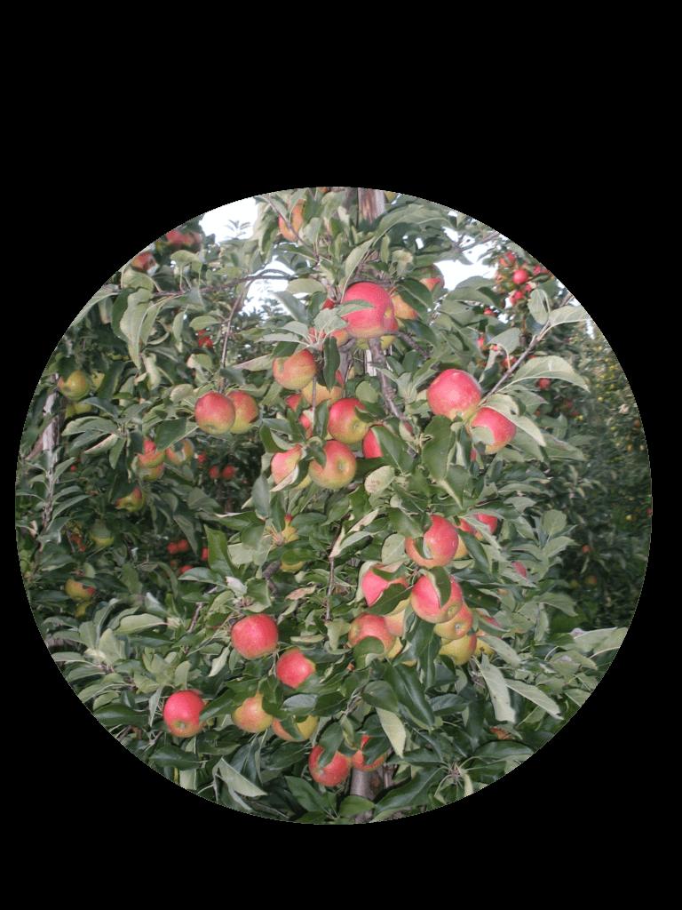 Fruitbedrijf Van den Berge_Onze appelsoorten_Elstar