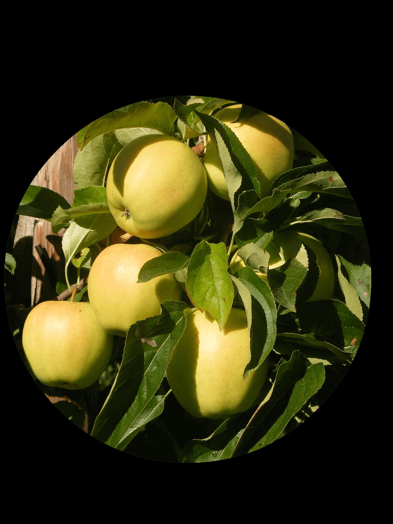 Fruitbedrijf Van den Berge: Onze appelsoorten Golden Delicious