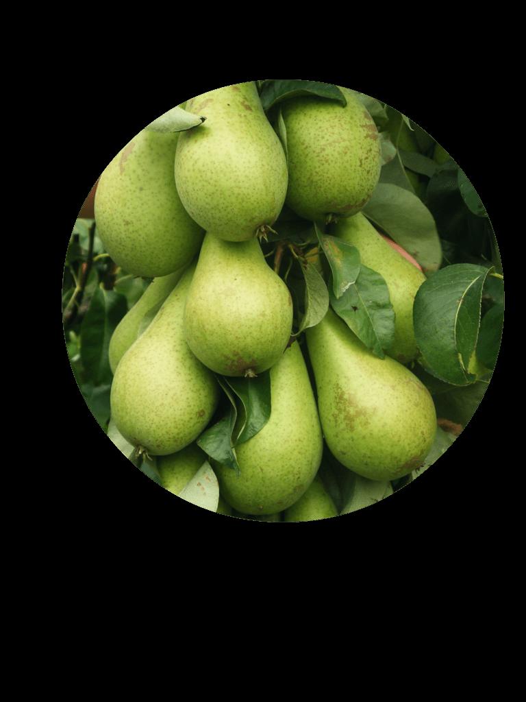 Fruitbedrijf Van den Berge: Onze perensoorten Conference