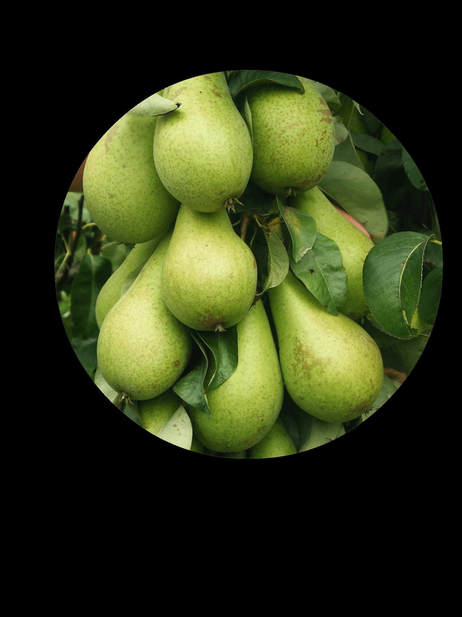 Fruitbedrijf Van den Berge_Onze perensoorten_Conference
