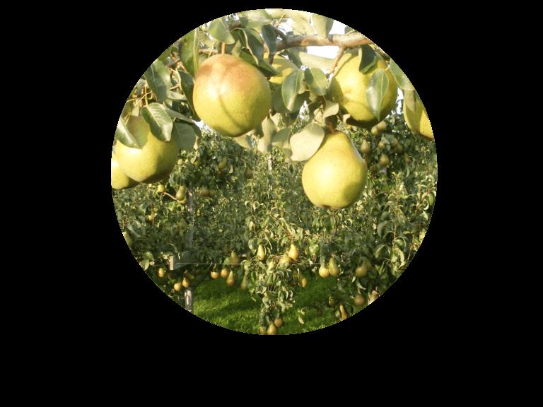 Fruitbedrijf Van den Berge_Onze perensoorten_Doyenne