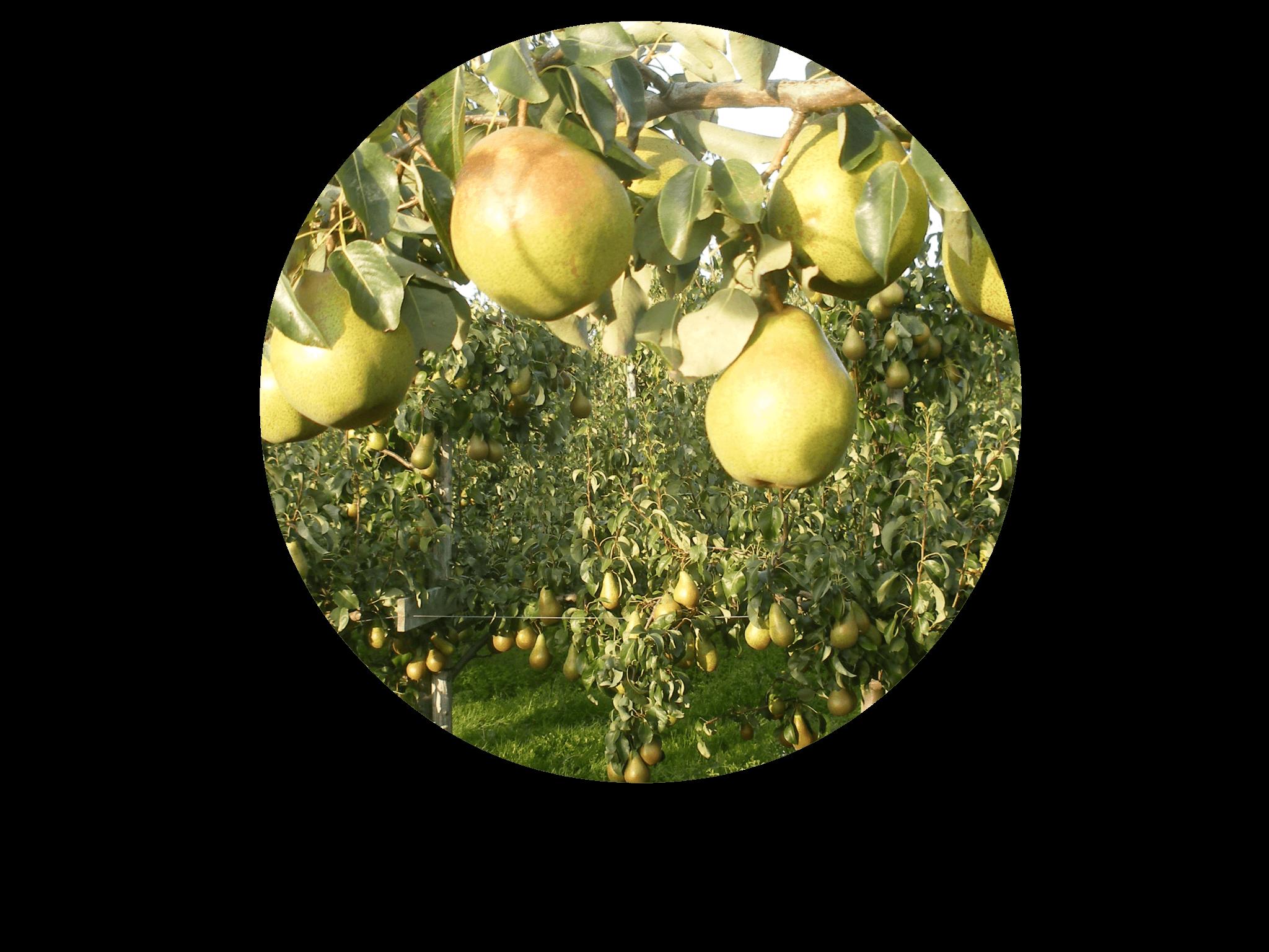Fruitbedrijf Van den Berge: Onze perensoorten Doyenne