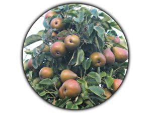 Fruitbedrijf Van den Berge_Onze perensoorten_Gieser Wildeman