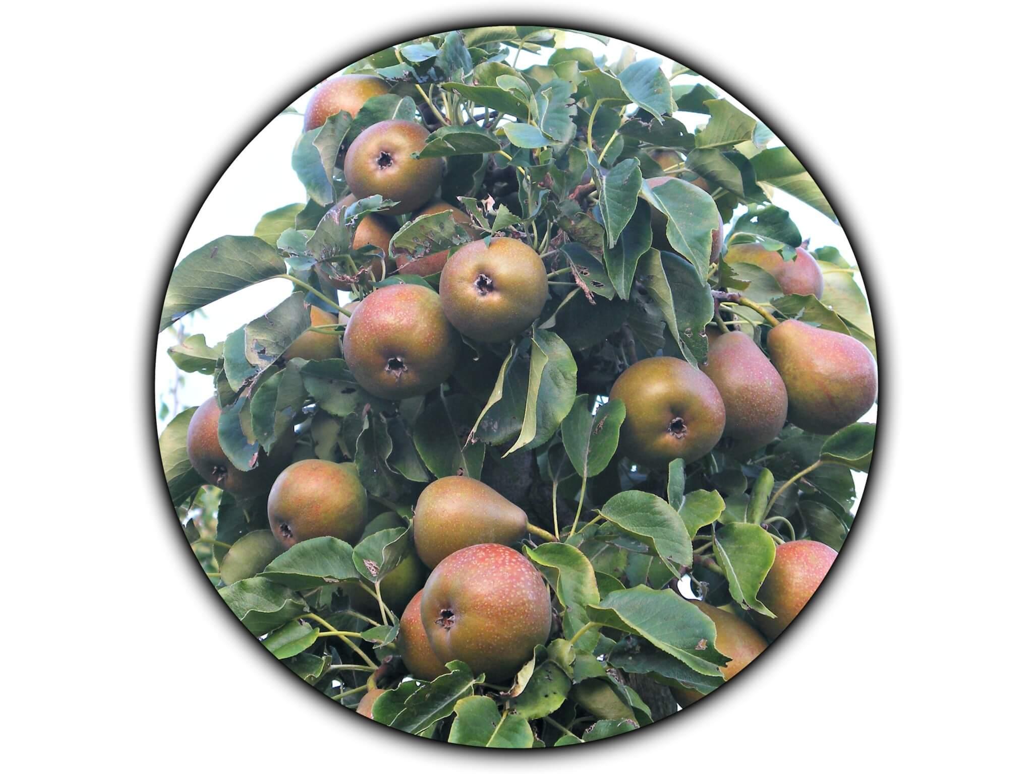 Fruitbedrijf Van den Berge: Onze perensoorten Gieser Wildeman