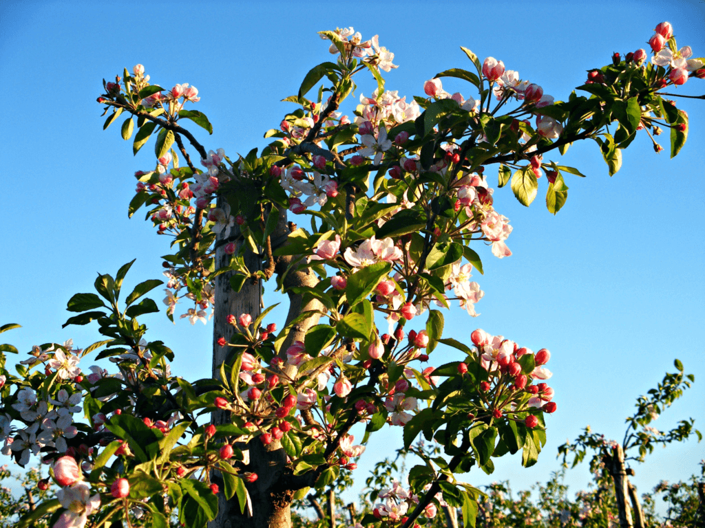 Fruitbedrijf Van den Berge_Voorjaar_bloei appels
