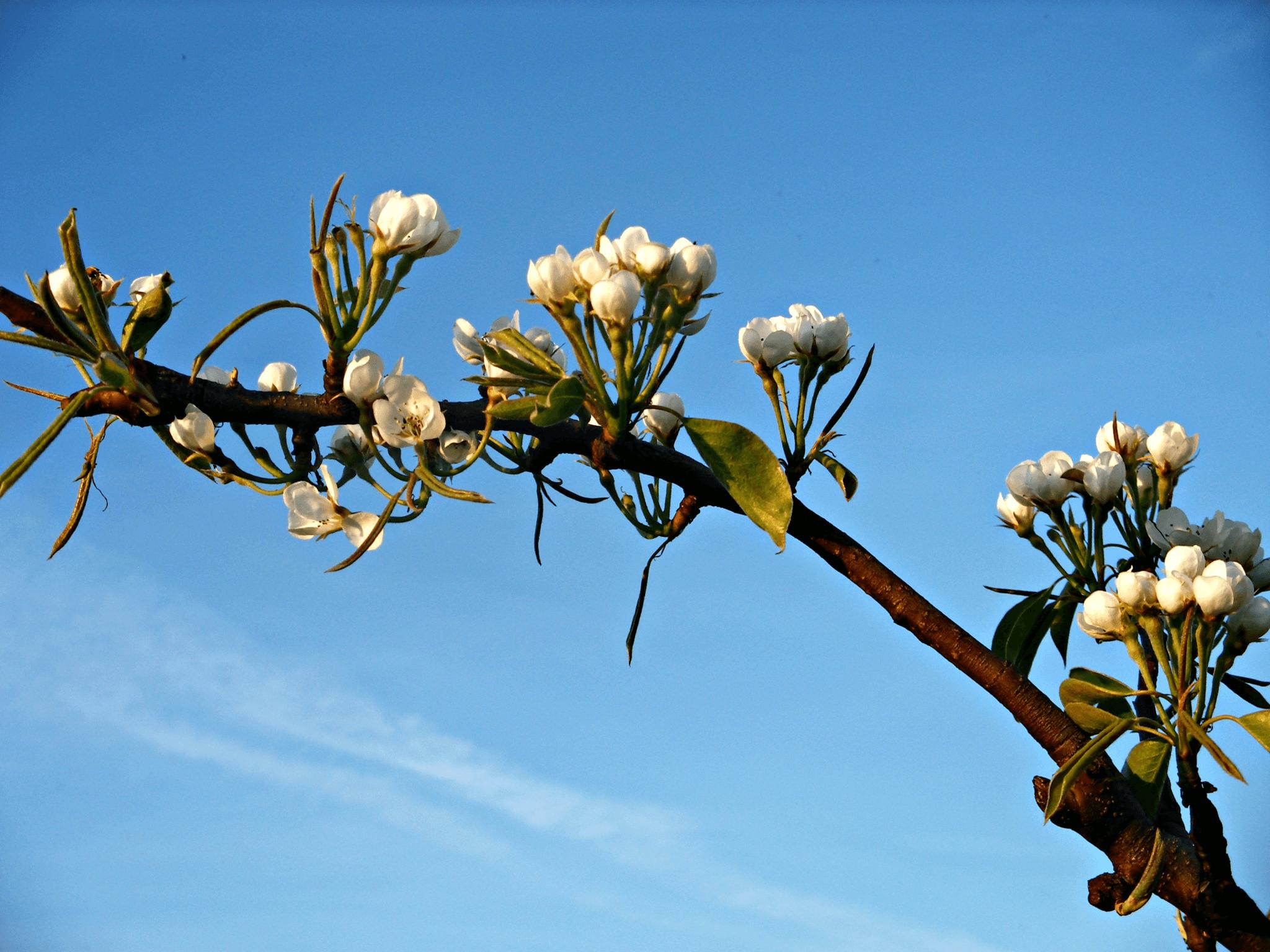 Fruitbedrijf Van den Berge_Voorjaar_bloei peren