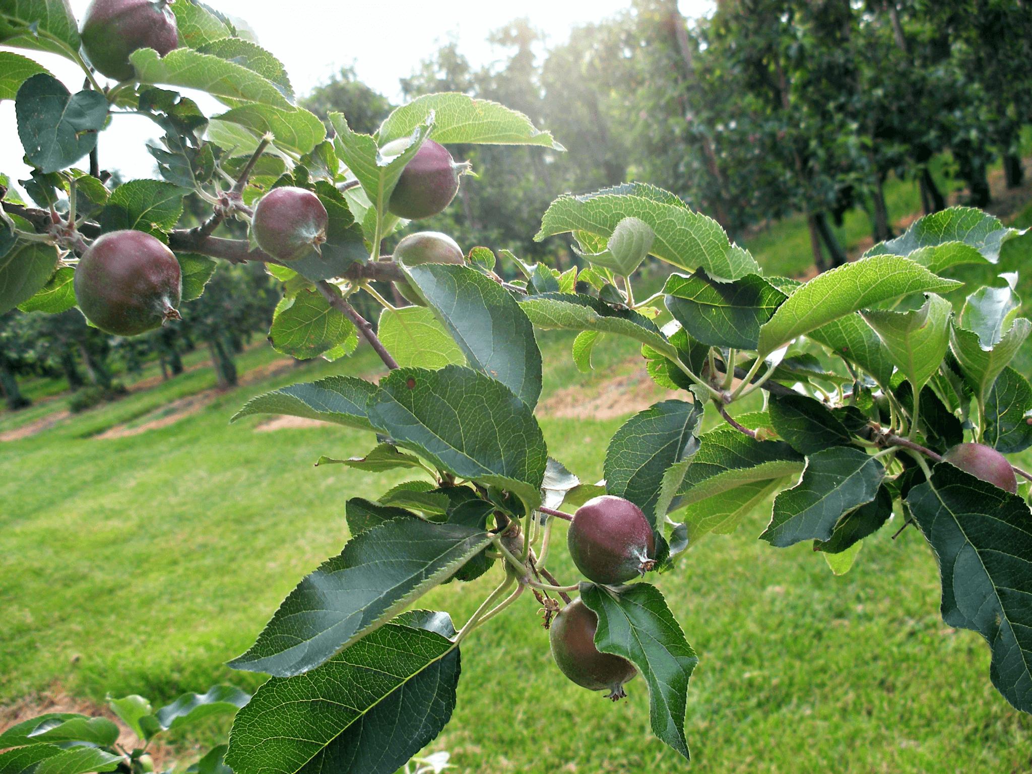 Fruitbedrijf Van den Berge_Voorjaar_kleine appels