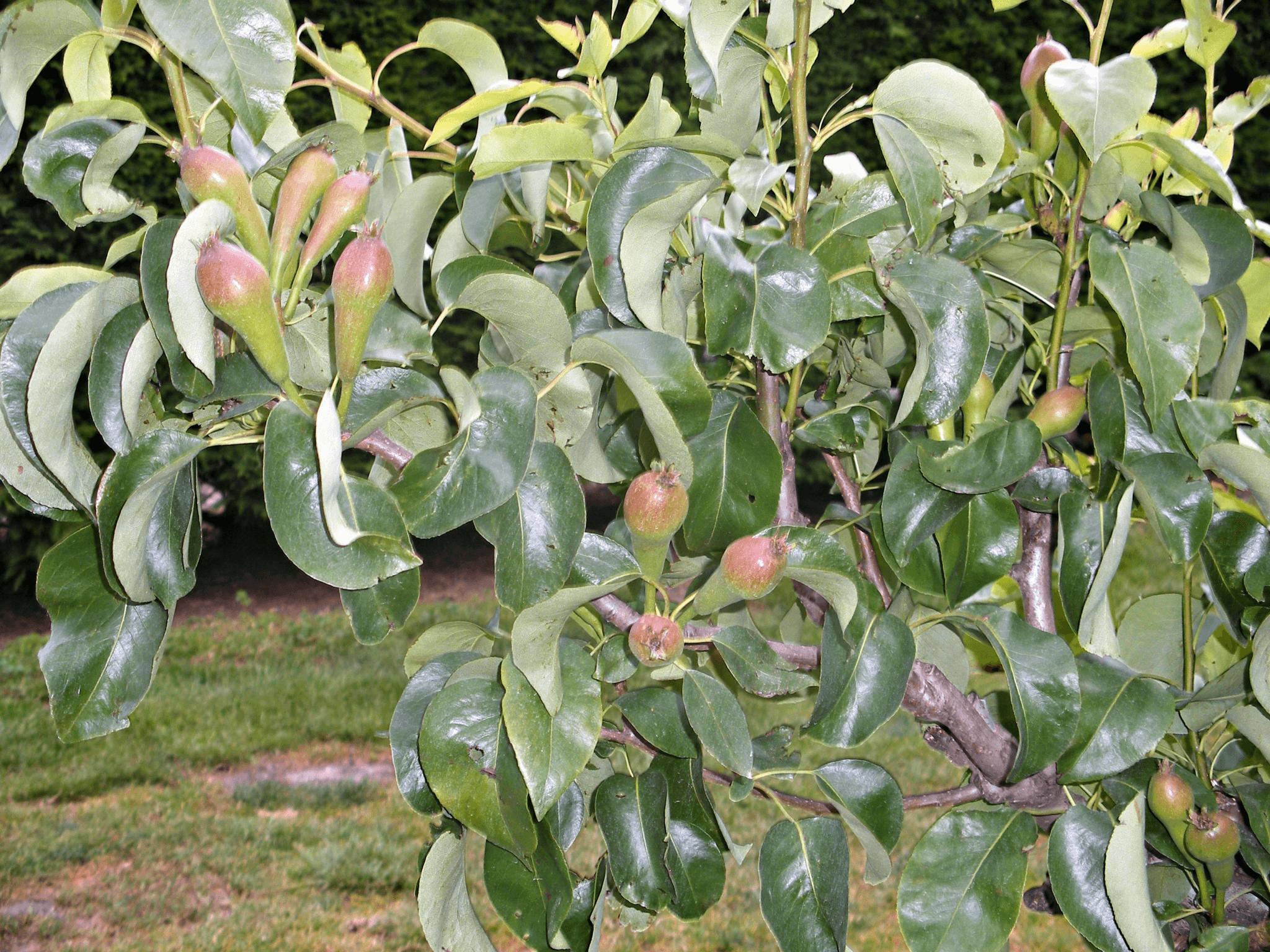 Fruitbedrijf Van den Berge_Voorjaar_kleine peren