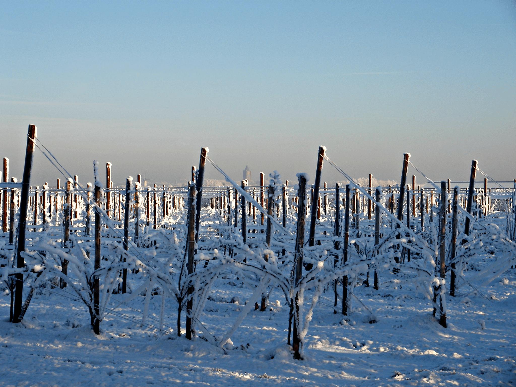Fruitbedrijf Van den Berge_Winter_boomgaard in sneeuw