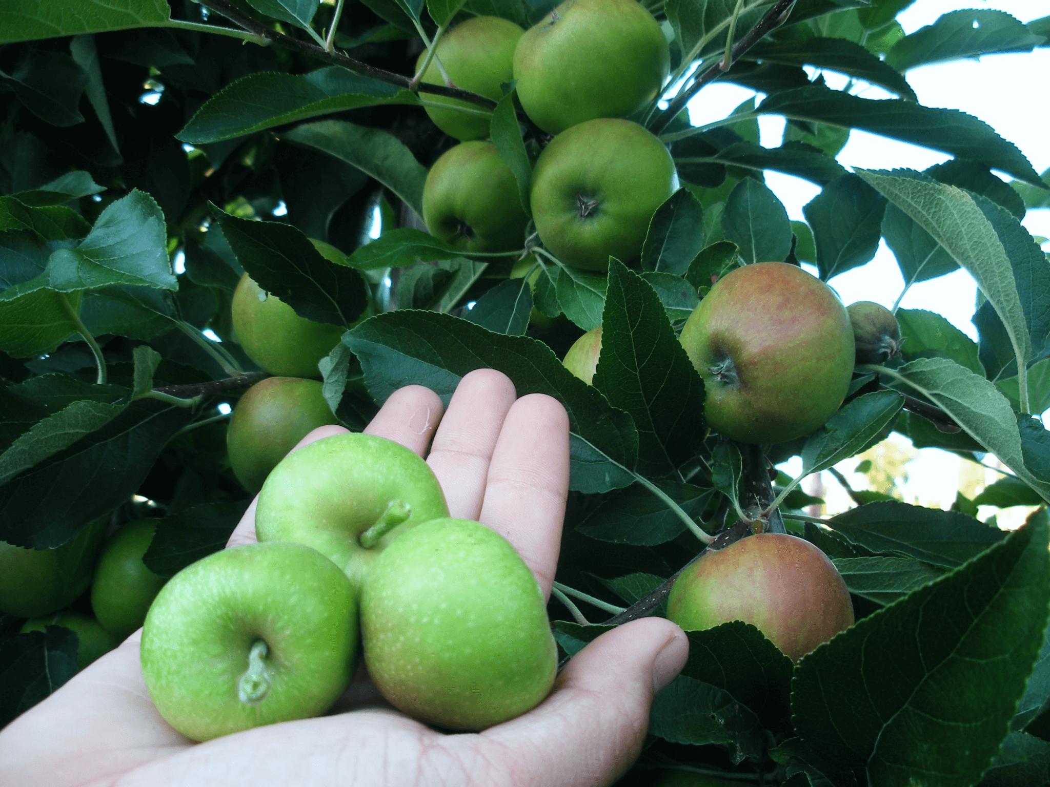 Fruitbedrijf Van den Berge_Zomer_dunnen appels