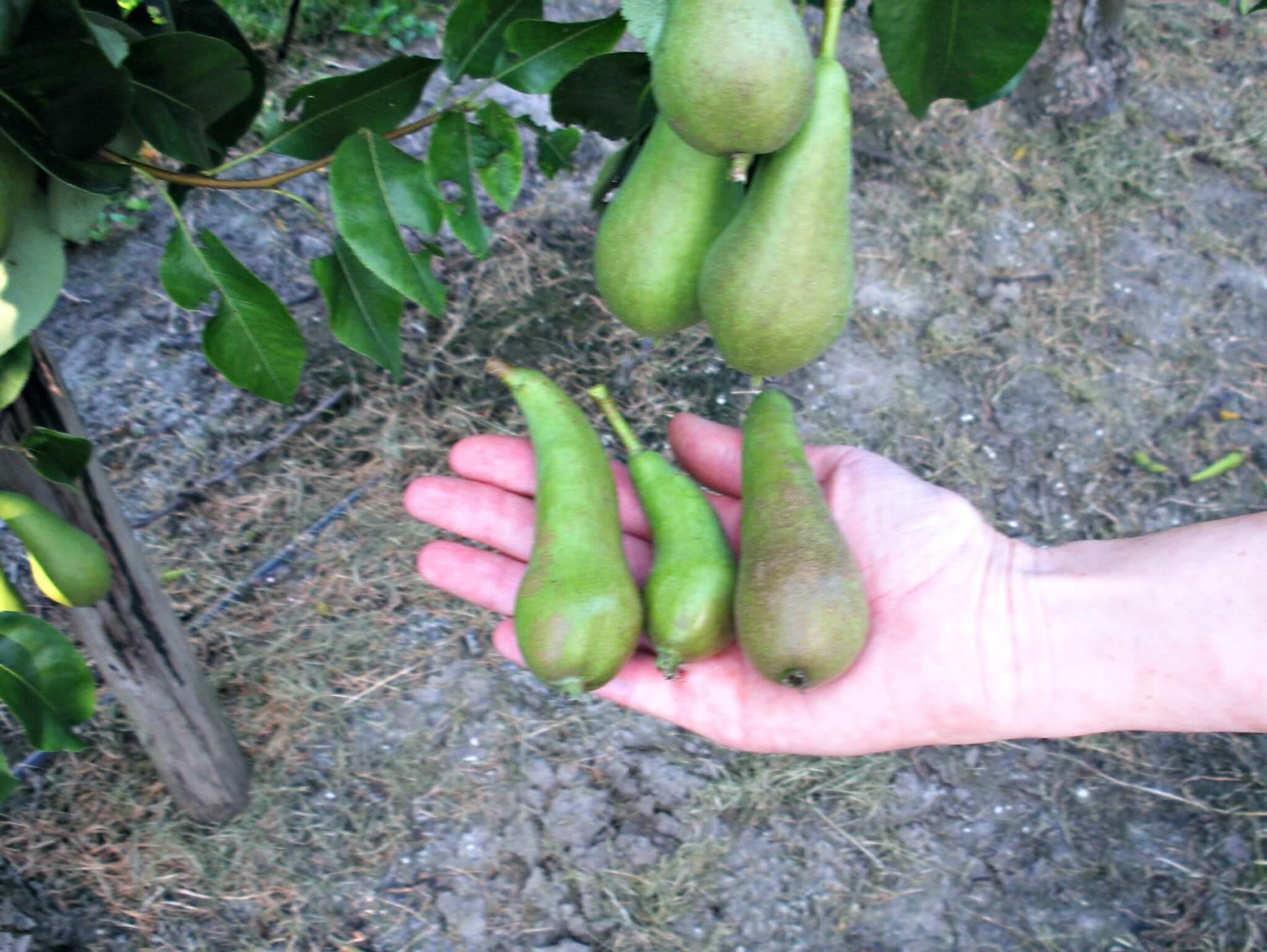 Fruitbedrijf Van den Berge_Zomer_dunnen peren