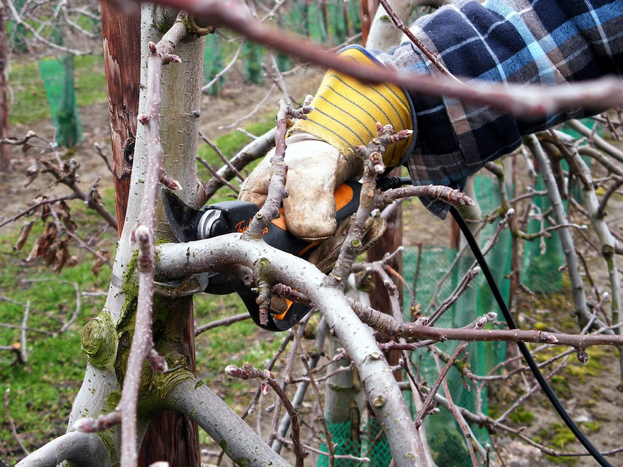 Fruitbedrijf Van den Berge: snoei_1