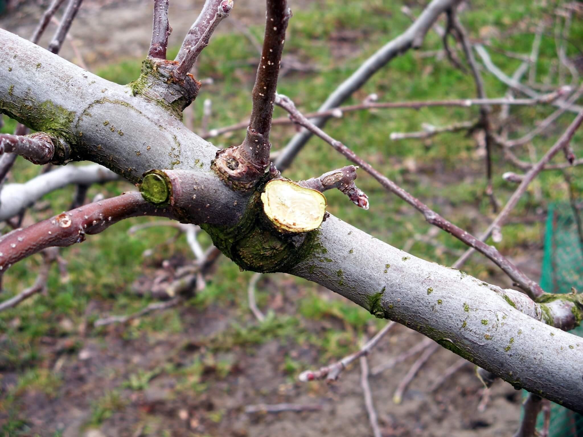 Fruitbedrijf Van den Berge: snoei_2