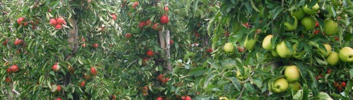 Fruitbedrijf Van den Berge_Elstar_en_Golden_Delicious_aan_boom