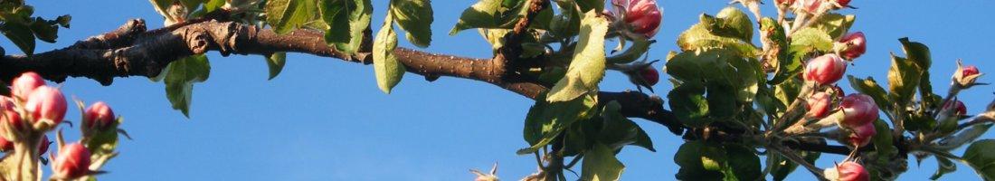 Fruitbedrijf Van den Berge_bloei appels