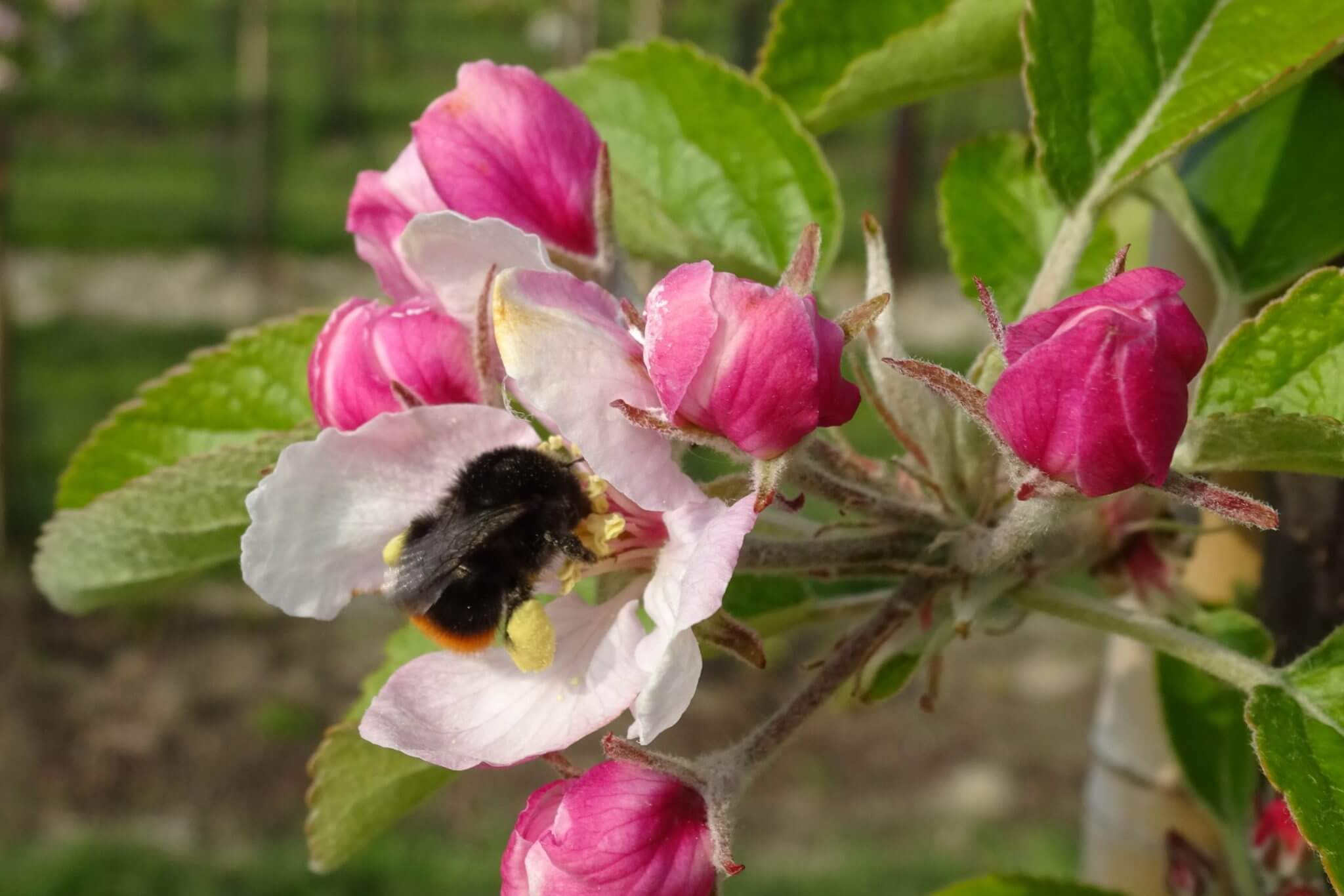 Fruitbedrijf Van den Berge_appelbloesem_bij