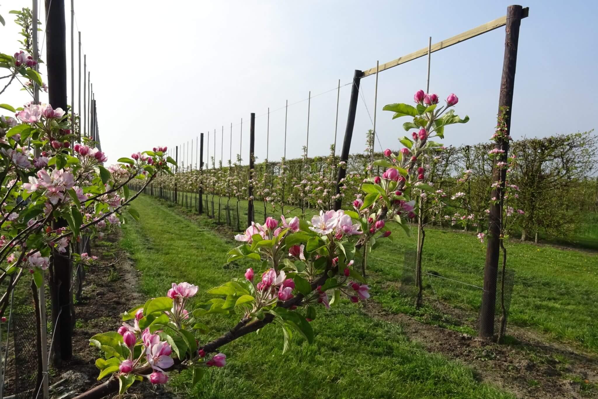 Fruitbedrijf Van den Berge_appelbloesem_tak