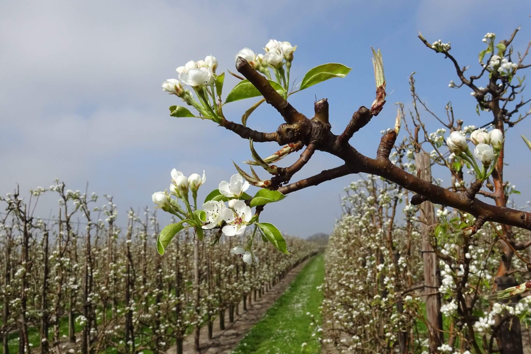 Fruitbedrijf Van den Berge_perenbloesem_2