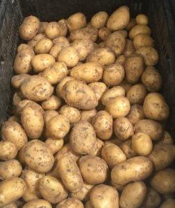 Fruitbedrijf Van den Berge_nieuwe aardappelen