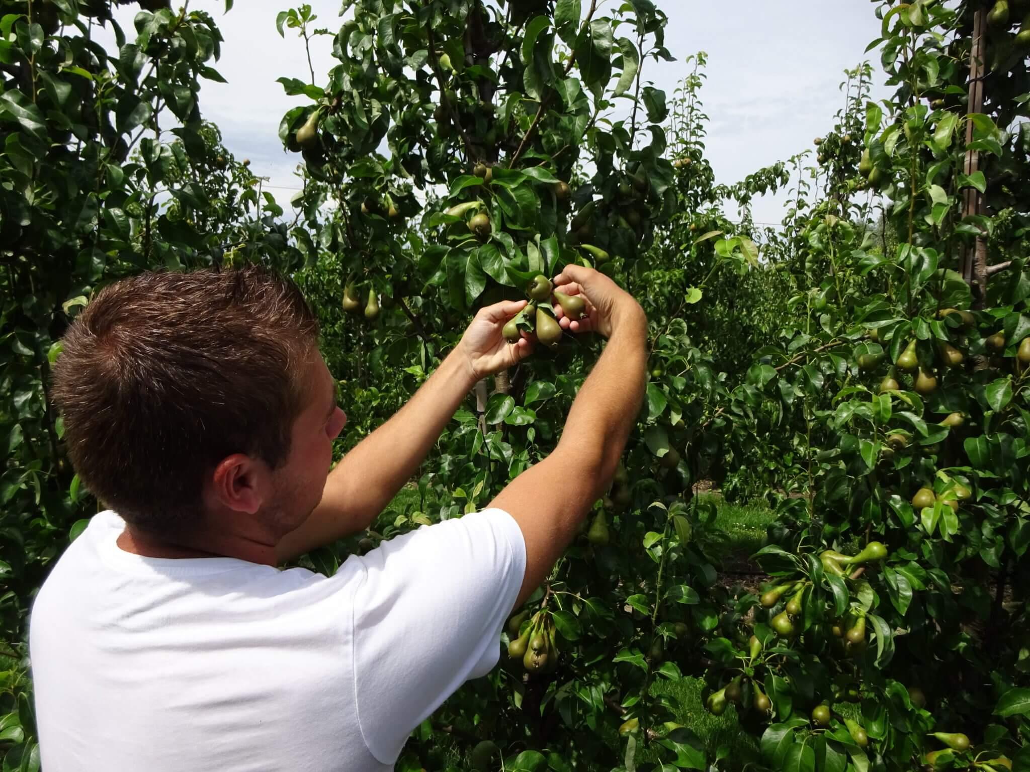 Fruitbedrijf Van den Berge_dunnen_1
