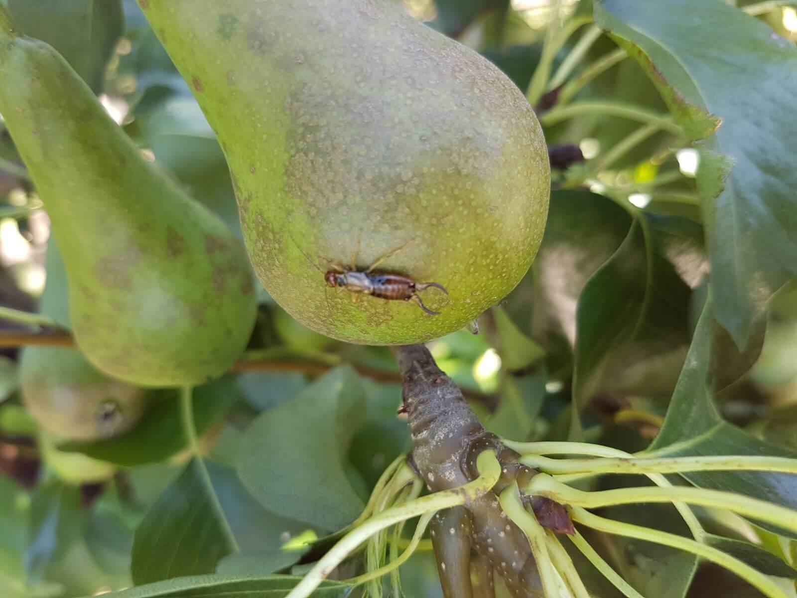 Fruitbedrijf-Van-den-Berge_oorworm