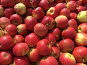 Fruitbedrijf-Van-den-Berge_Elstar_2017_1