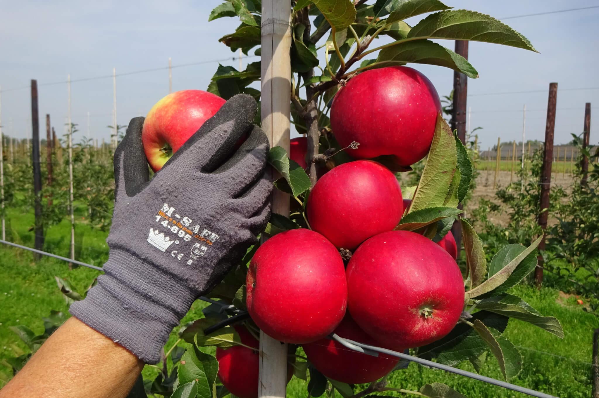 Fruitbedrijf Van den Berge_Pluk 2017_1