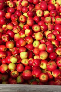 Fruitbedrijf-Van-den-Berge_Elstar_uitdeelappels