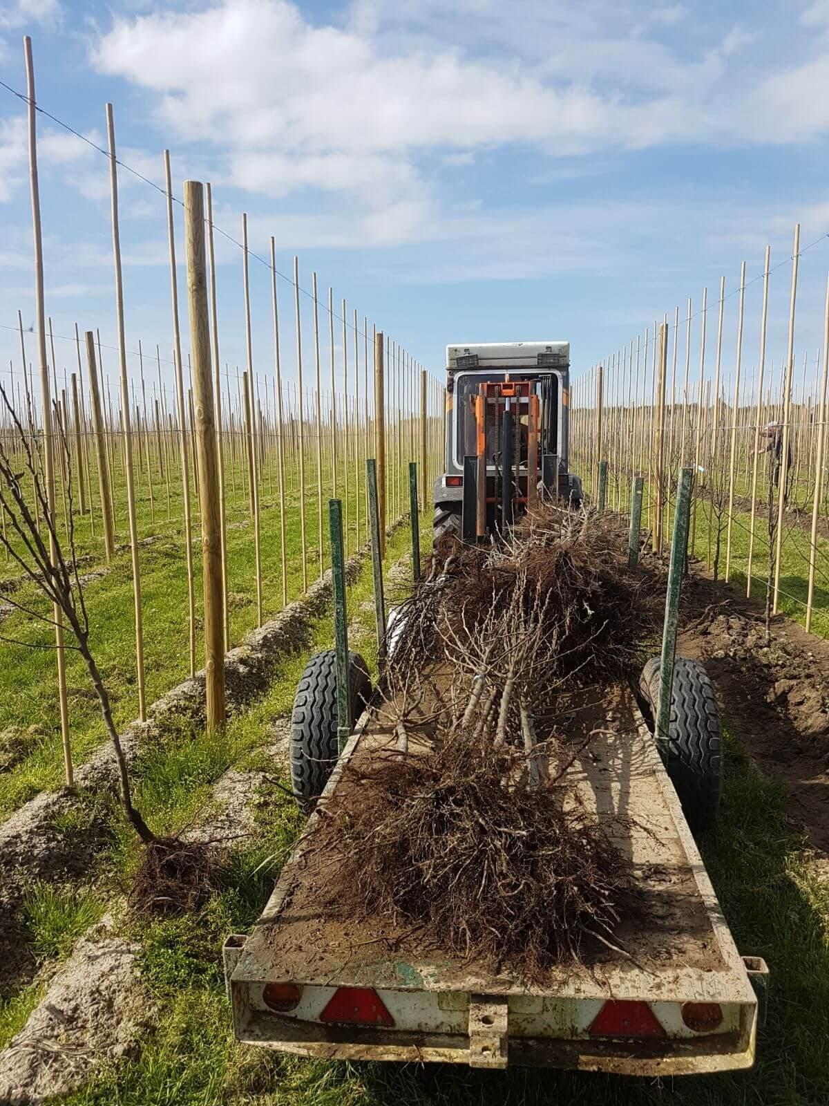 Fruitbedrijf Van den Berge_bomen op kar