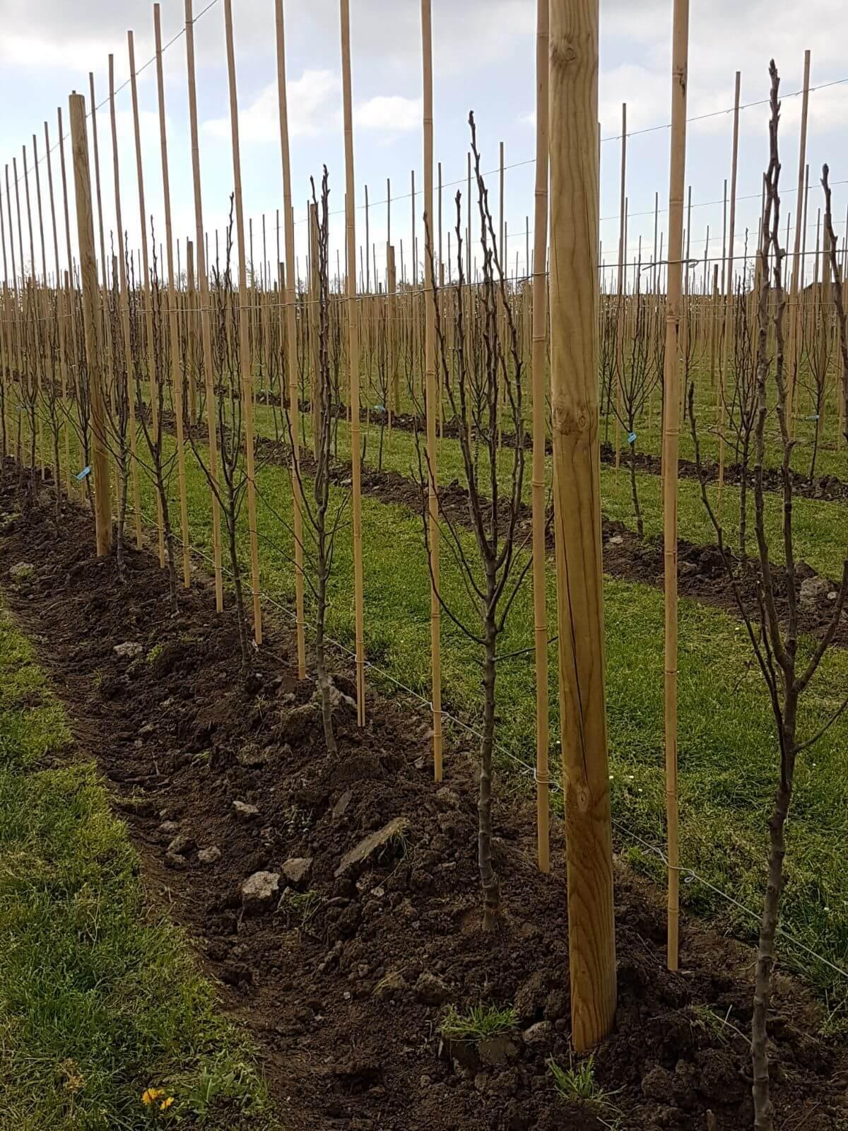 Fruitbedrijf Van den Berge_resultaat bomen planten