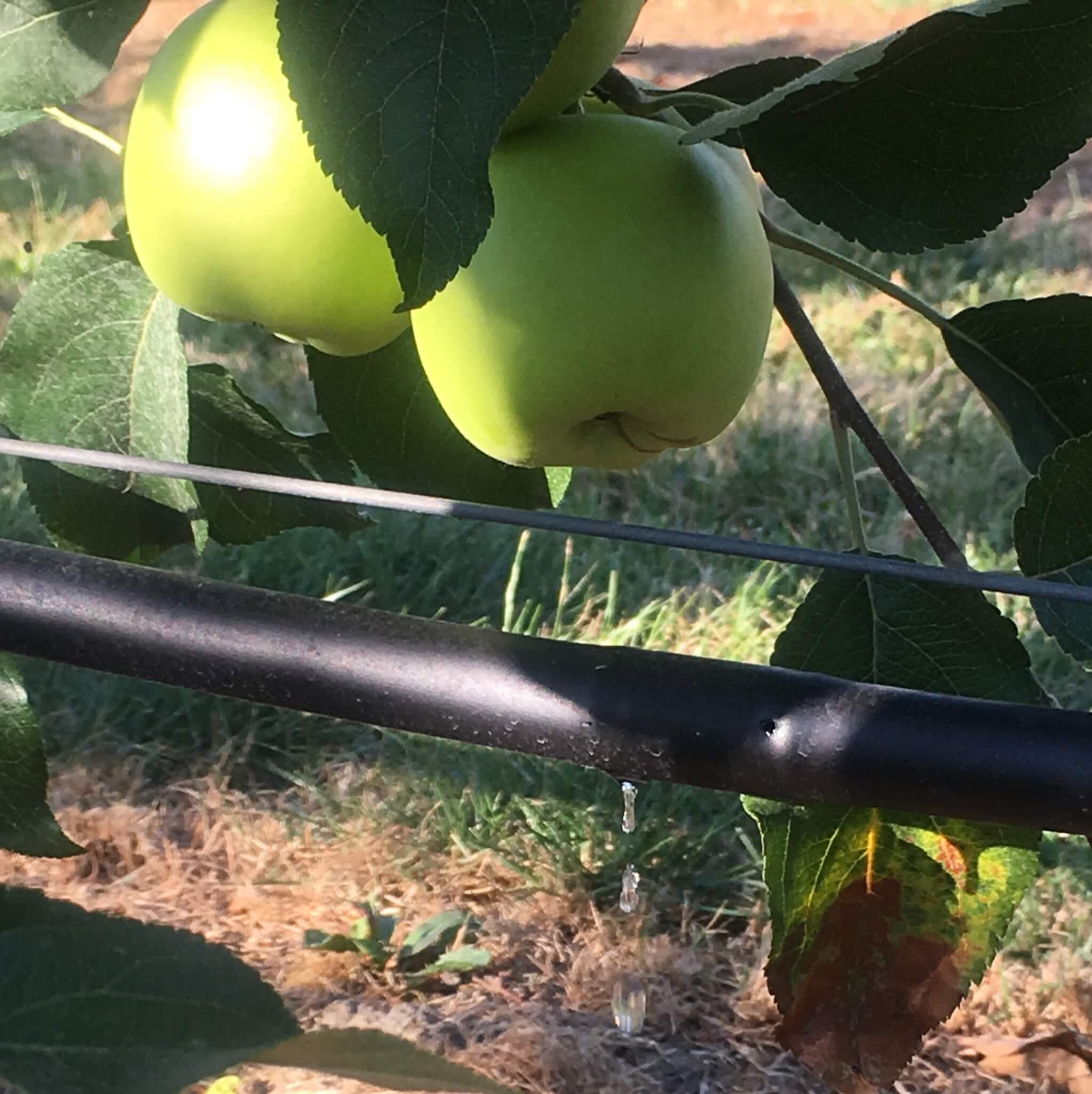 Fruitbedrijf Van den Berge_Delcorf_nieuwe oogst_2018_2