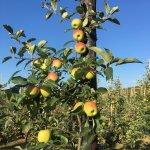 Fruitbedrijf Van den Berge Delcorf nieuwe oogst 2018_3