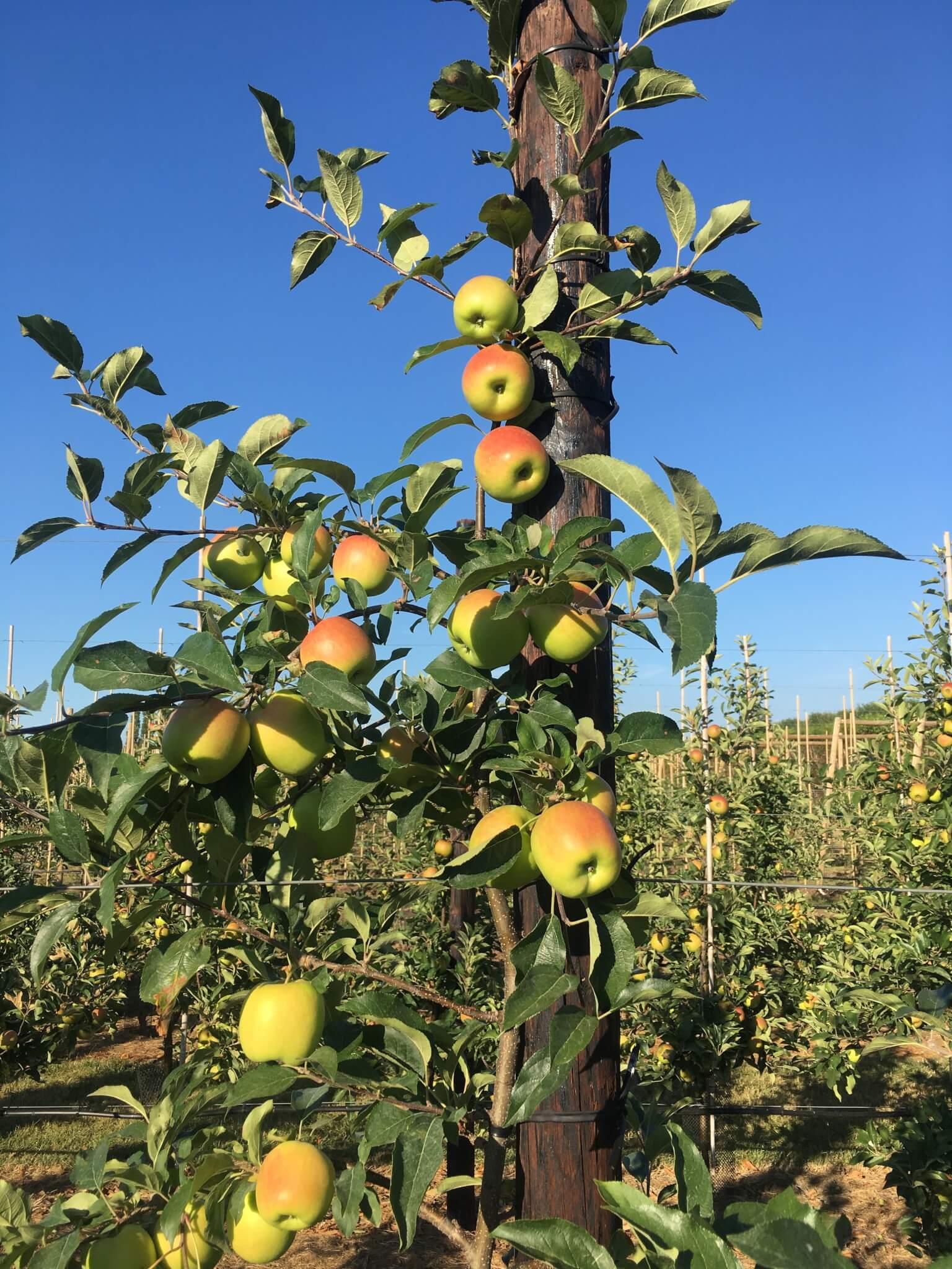Fruitbedrijf Van den Berge_Delcorf_nieuwe oogst_2018_3