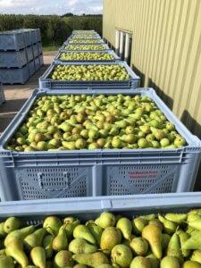 Fruitbedrijf Van den Berge peren in kisten voor schuur