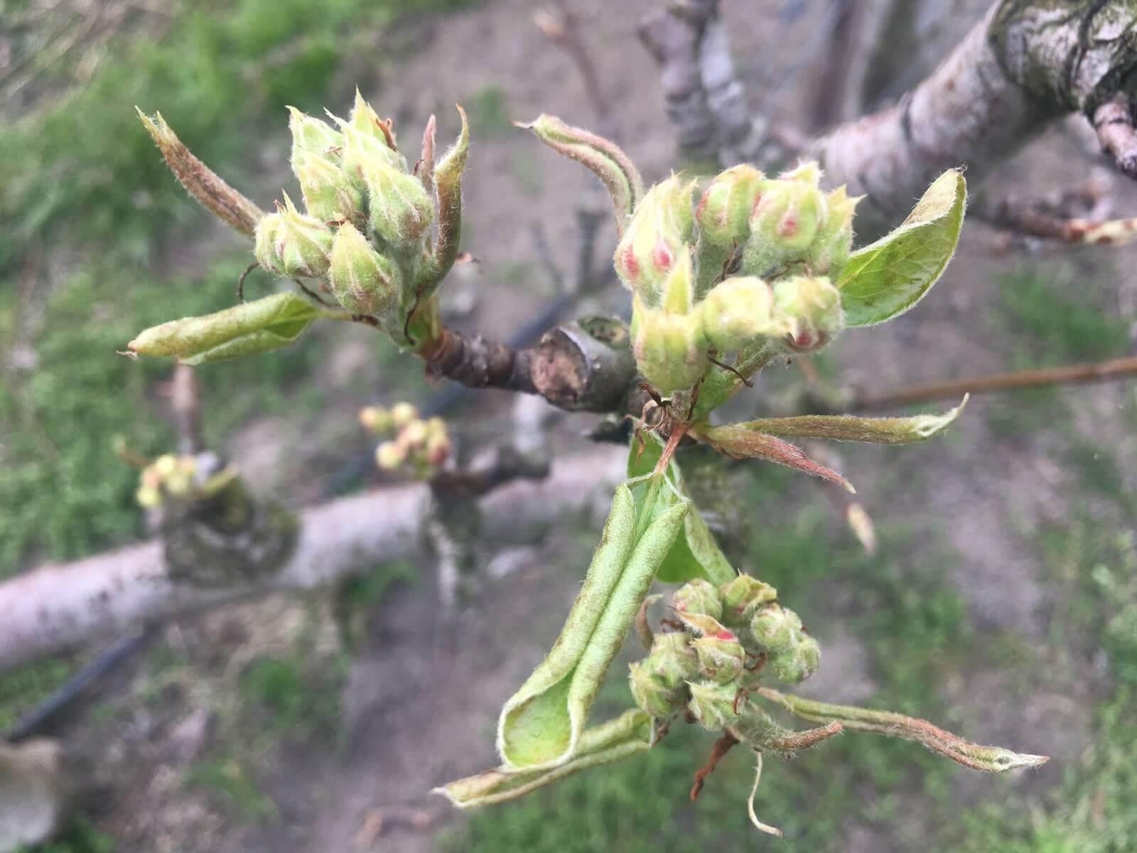 Fruitbedrijf Van den Berge: perenbloei 28032019