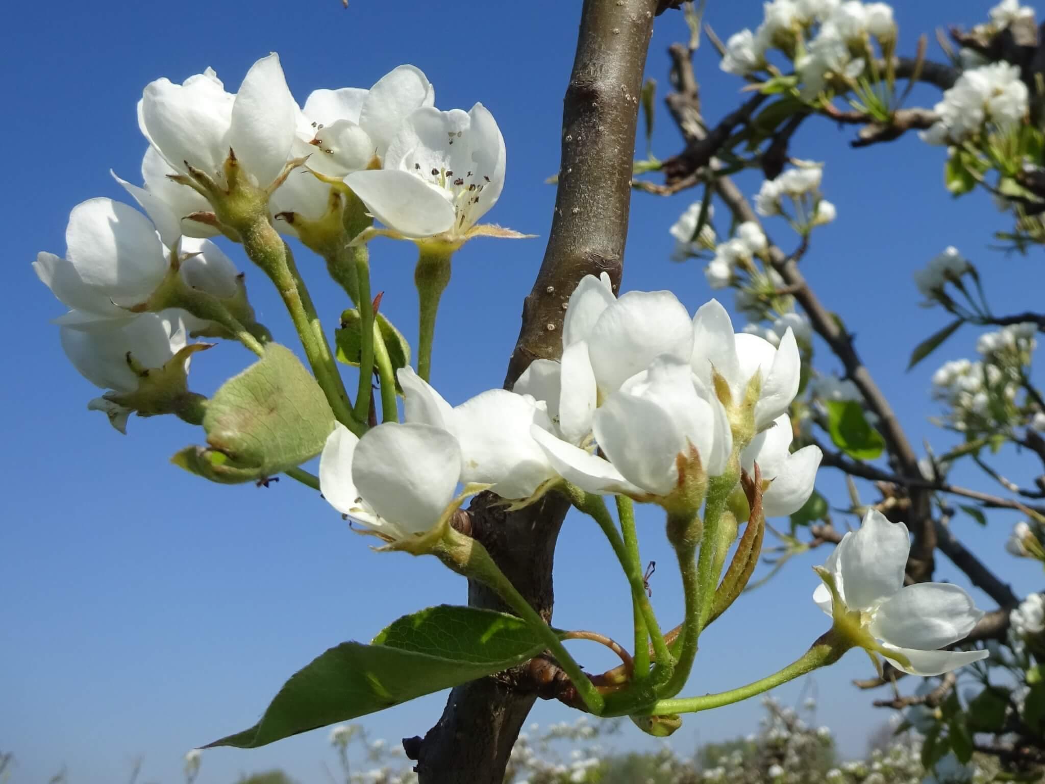 Fruitbedrijf Van den Berge: perenbloei 11042019