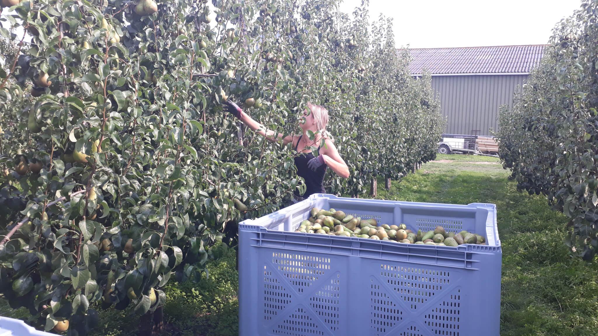 Fruitbedrijf Van den Berge Pluk 2019 1