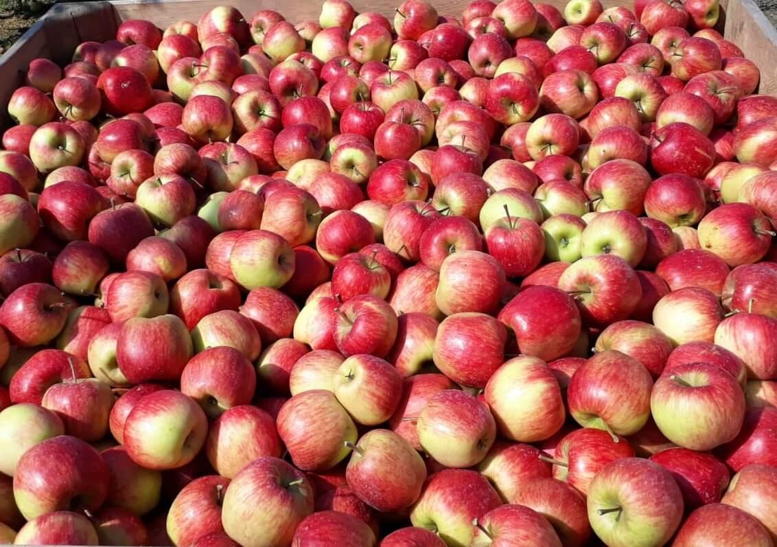 Fruitbedrijf Van den Berge Pluk 2019 4 Zari