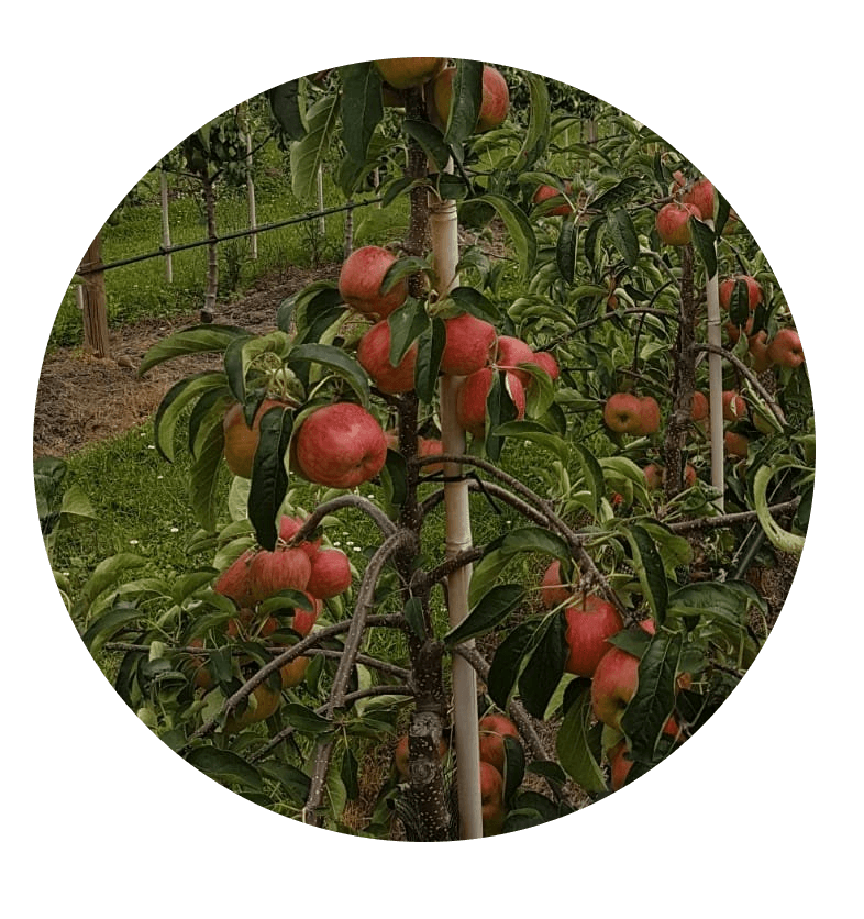 Fruitbedrijf Van den Berge: Zari (1)
