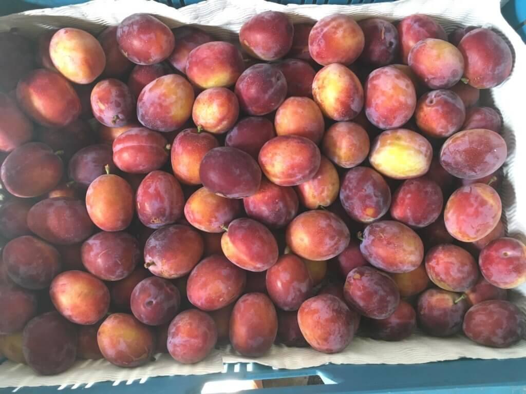 Fruitbedrijf Van den Berge: pruimen 2