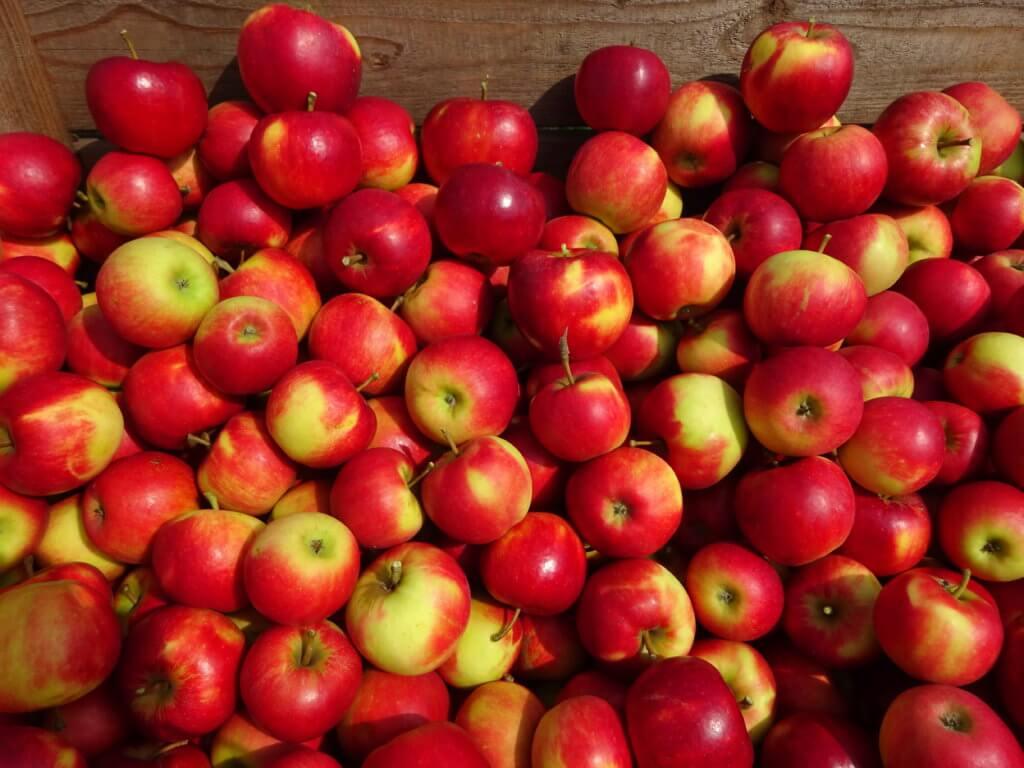 Fruitbedrijf Van den Berge: Elstar 23