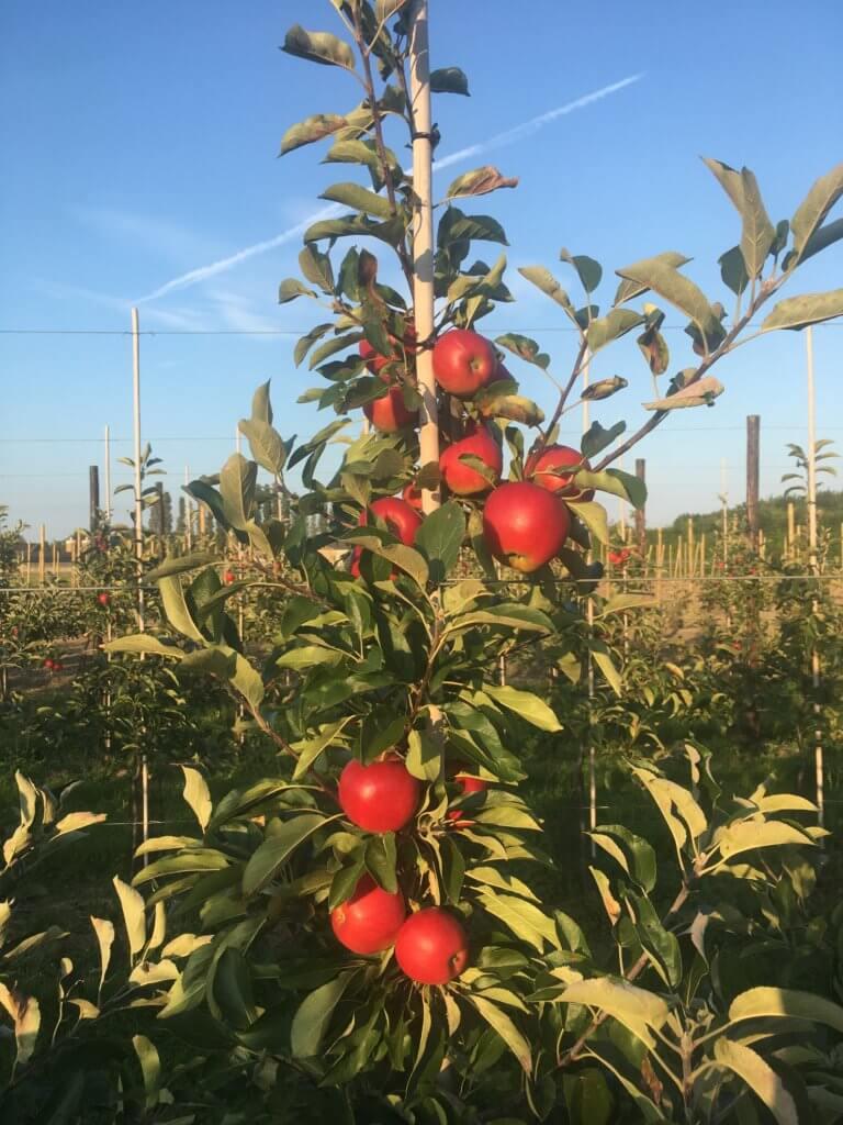 Fruitbedrijf Van den Berge Elstar 21