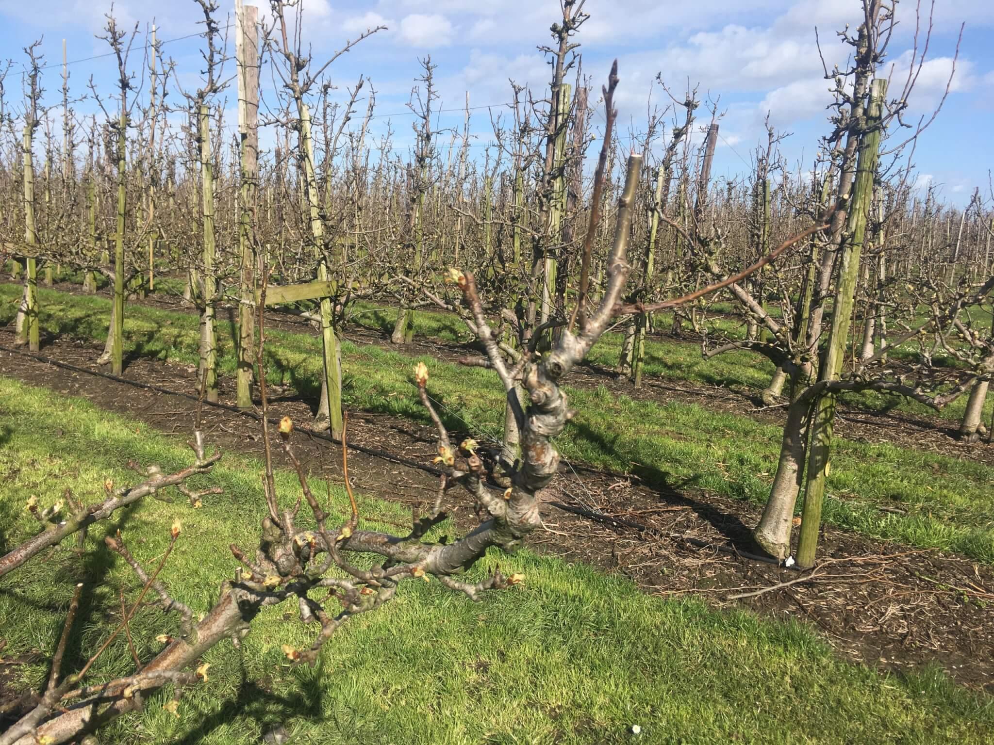 Fruitbedrijf Van den Berge: bloei 2020 2