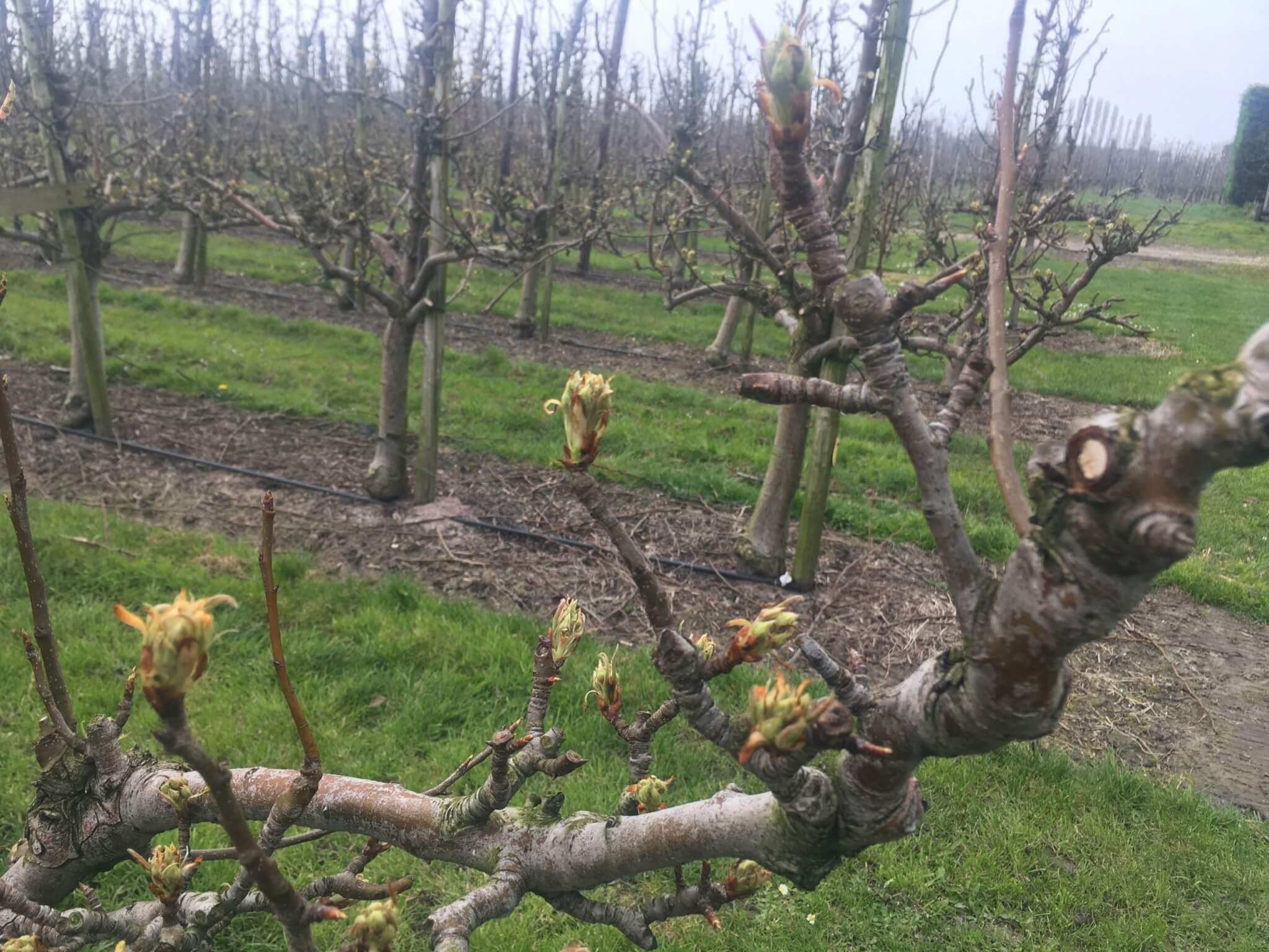Fruitbedrijf Van den Berge: bloei 2020 3