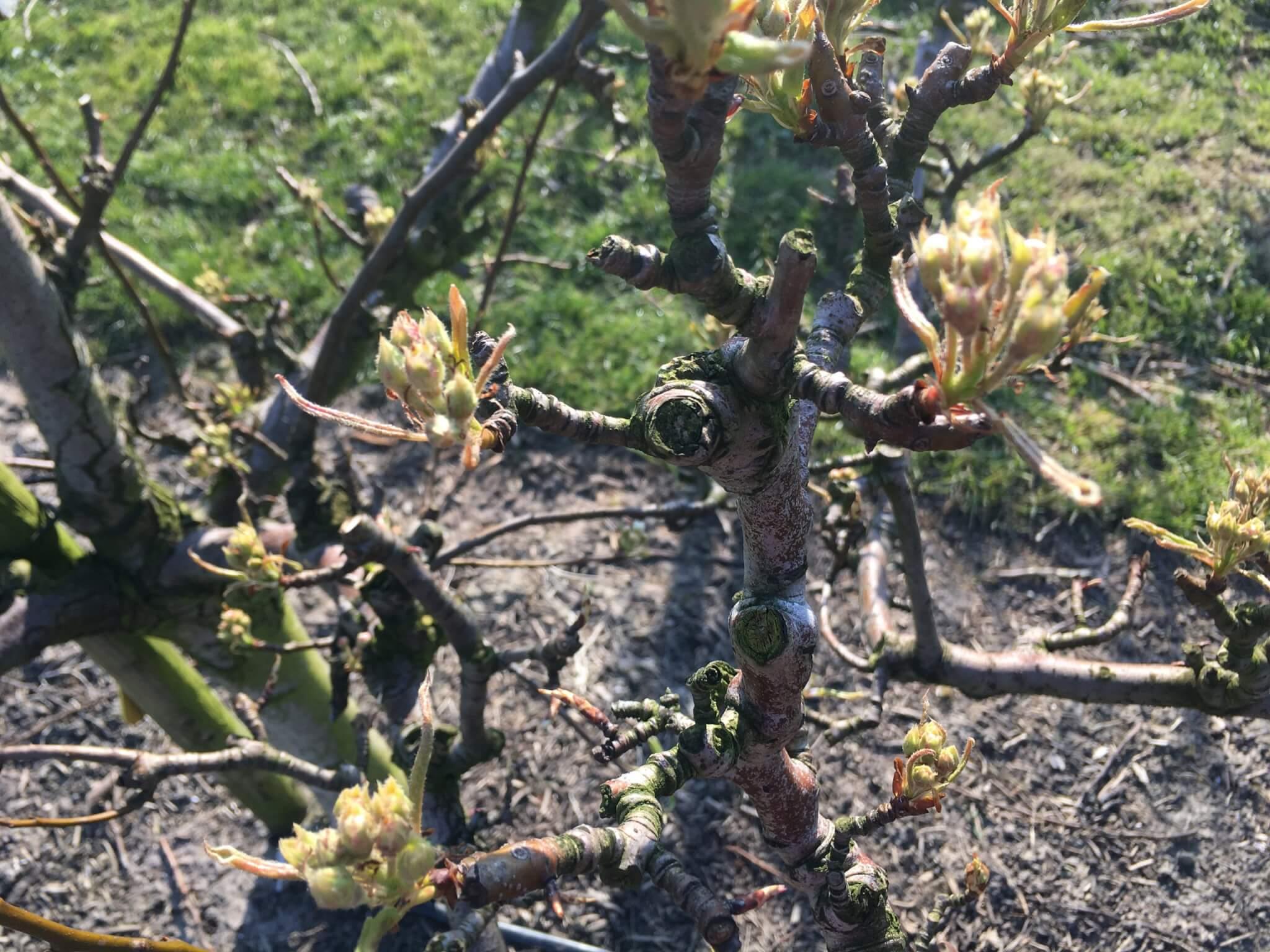 Fruitbedrijf Van den Berge: bloei 2020 4