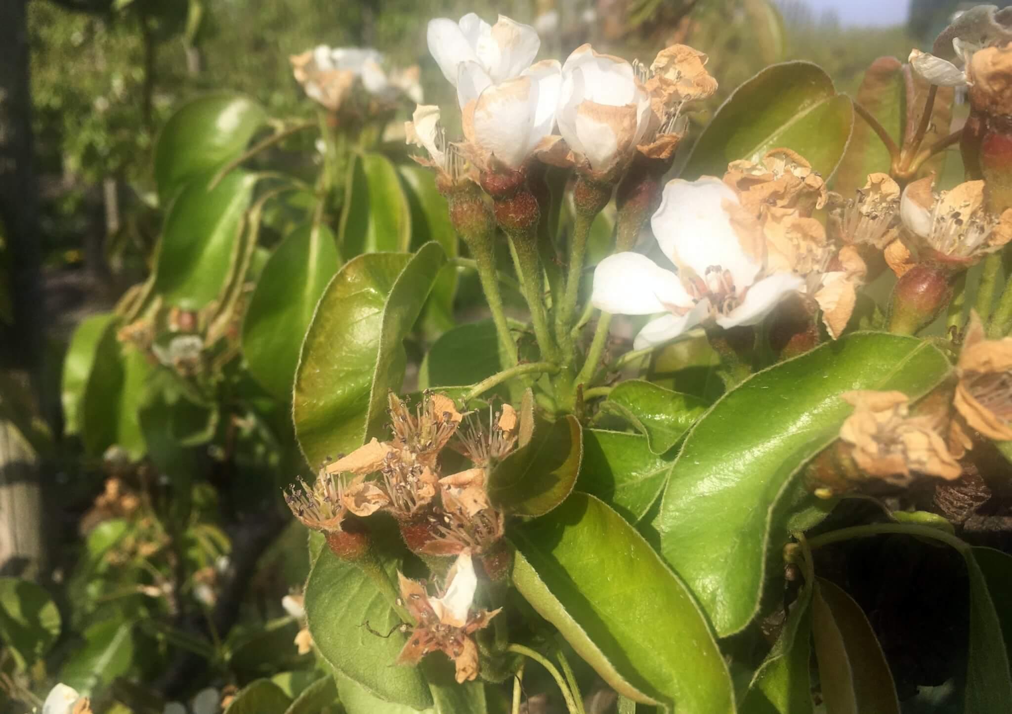 Fruitbedrijf Van den Berge: bloei 2020-7