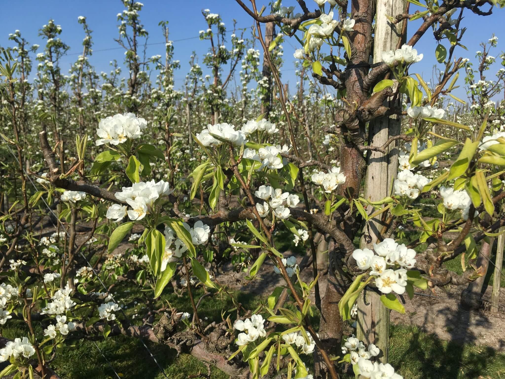 Fruitbedrijf Van den Berge: Bloei 2020-6